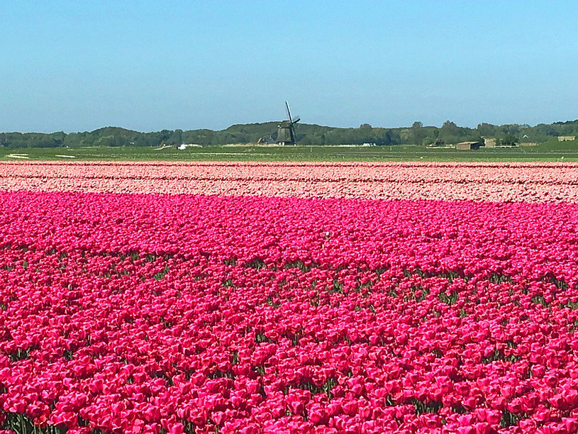 Tulip Fields Near Alkmaar