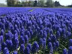 Muscari Fields Near Alkmaar