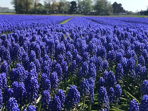 Muscari field near Alkmaar, the Netherlands