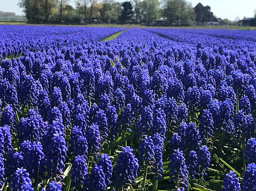 Muscari Fields Near Alkmaar