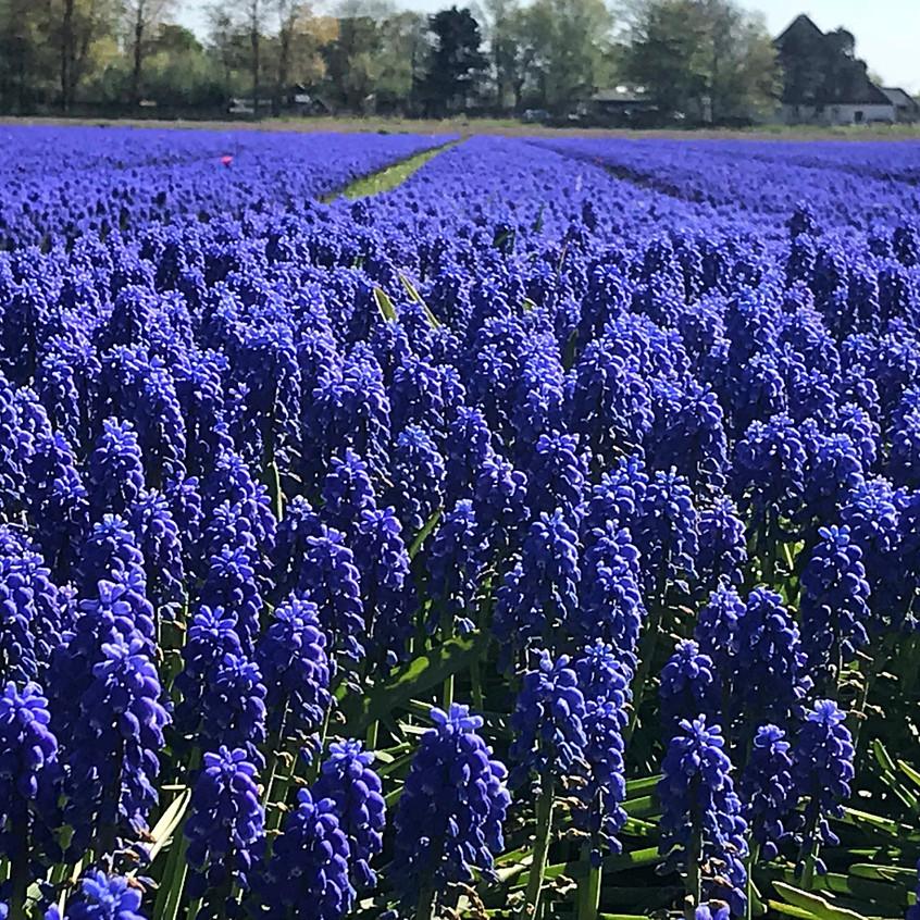 Muscari Field Near Alkmaar