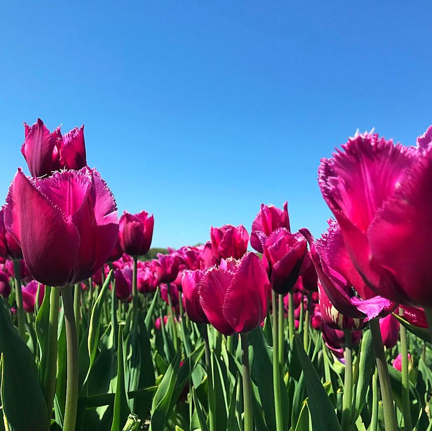 Tulip Field Near Alkmaar