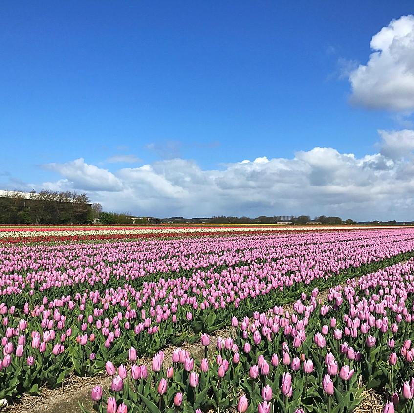 Tulip Fields Near Alkmaar - 2017