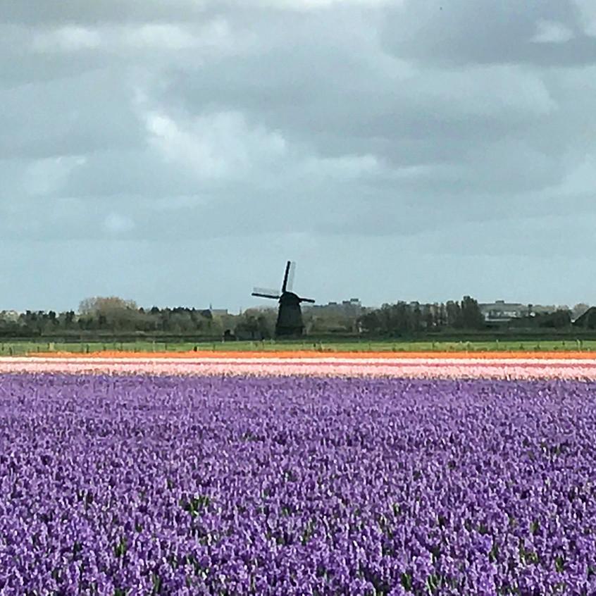 Hyacinth Field Near Alkmaar - 2017