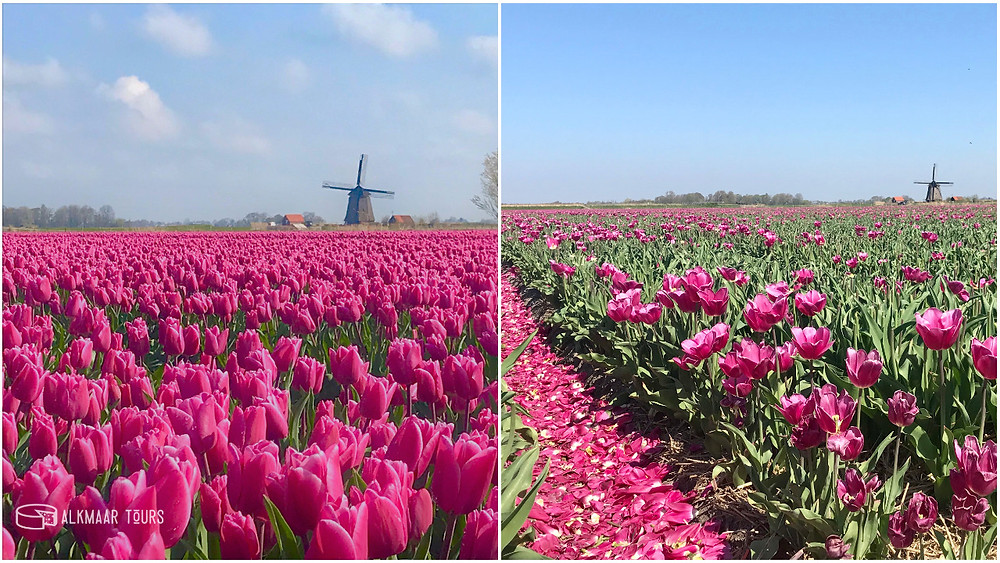 Tulip today...