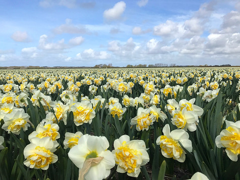 Daffodil field near Alkmaar, the Netherlands