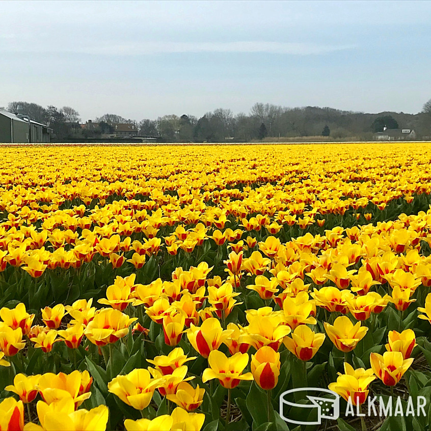 Tulip Field Near Alkmaar 2018