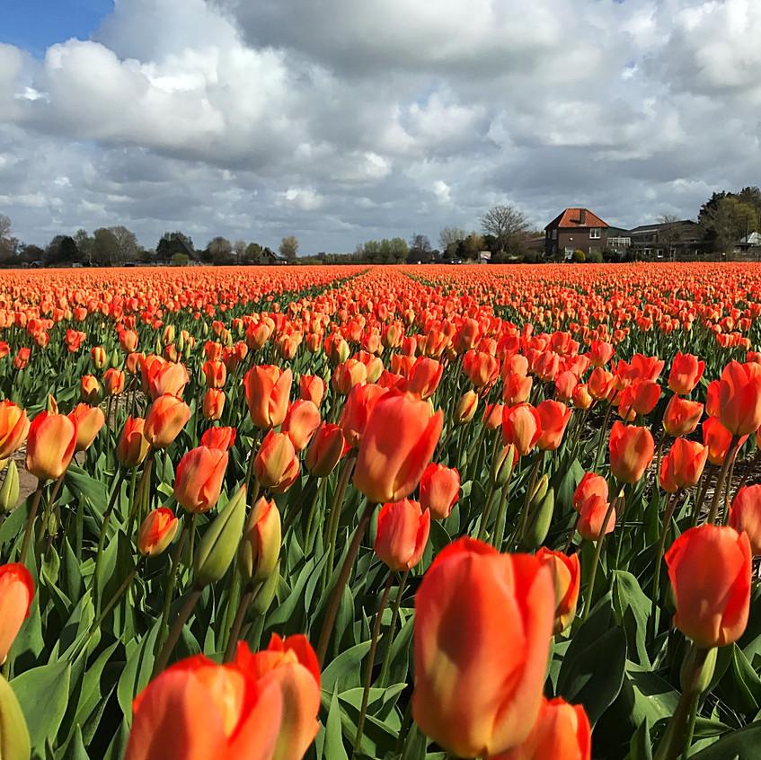 Tulip Field Near Alkmaar - 2017