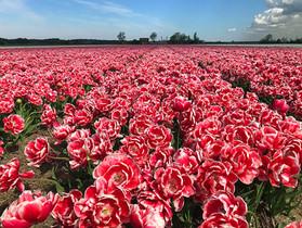 Tulips near Alkmaar, the Netherlands