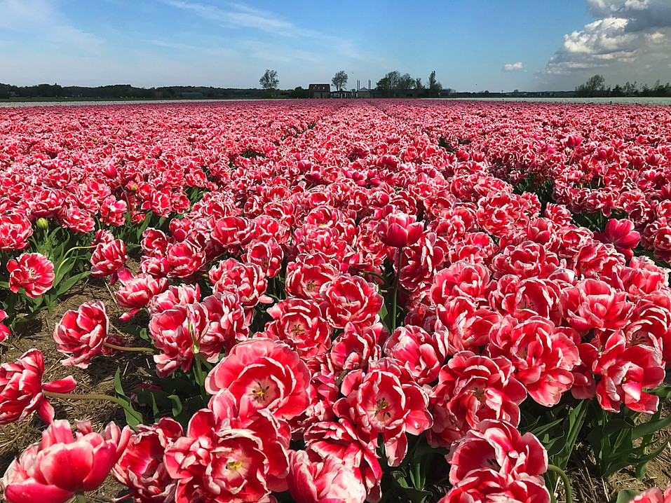 Tulips near Alkmaar, the Netherlands