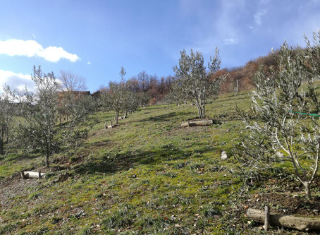 L'ulivo nell'Appennino Modenese