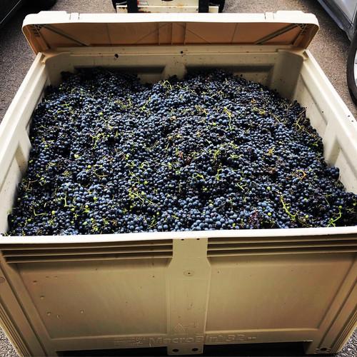St. Croix grapes in a Macro Bin