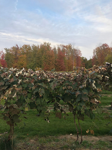 Autumn colors in the vines