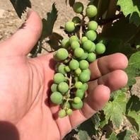 grapes5_orig.jpg