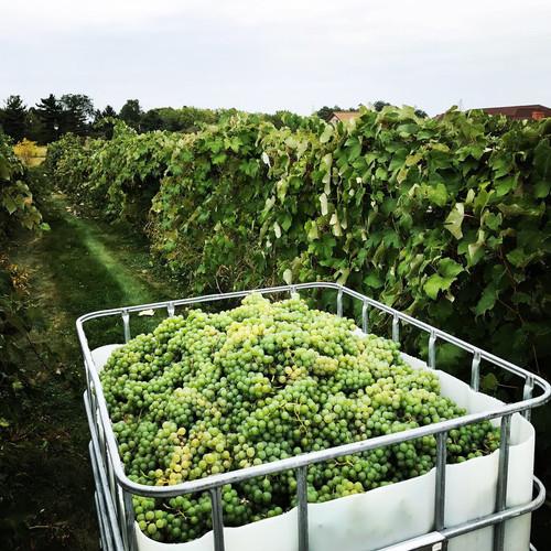 Niagara grapes during harvest