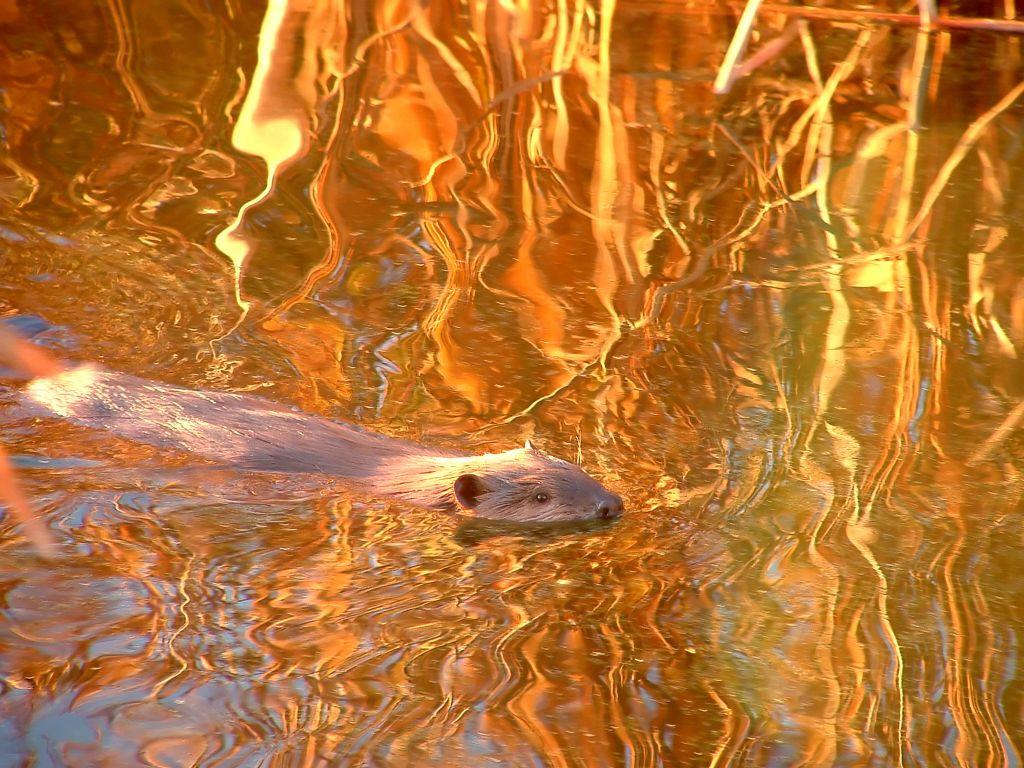 busy-beaver-1387210.jpg