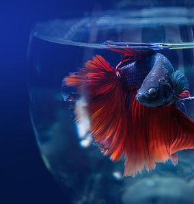 Сиамский Борьба рыбы