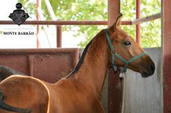 Monte Barrão Foal 2016