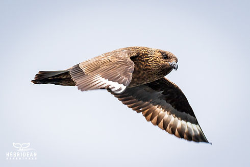 Great Skua_PSharman.jpg