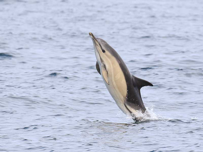 Common dolphin leaping
