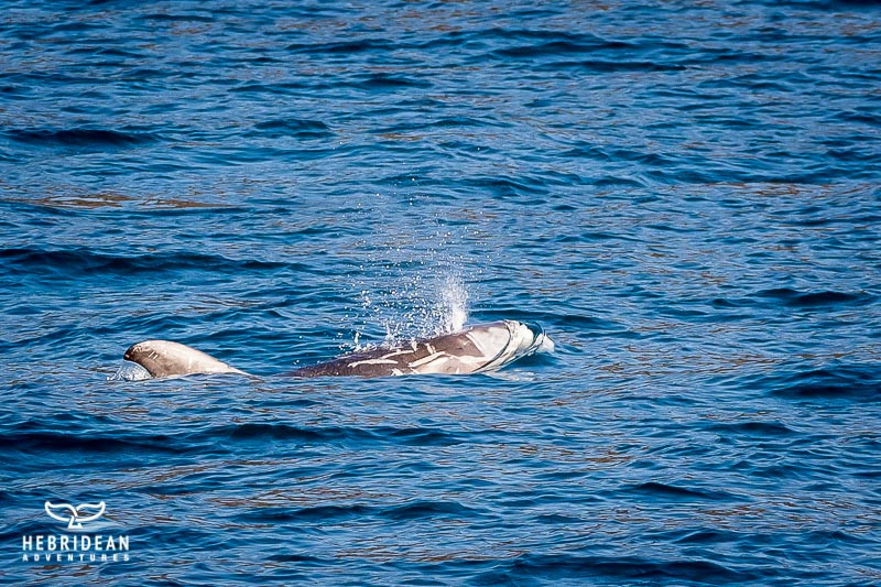 Risso's dolphin with scars