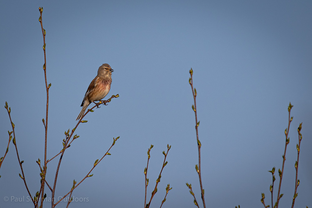 A male linnet perched in a tree singing.
