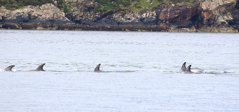 Dolphins in the Hebrides