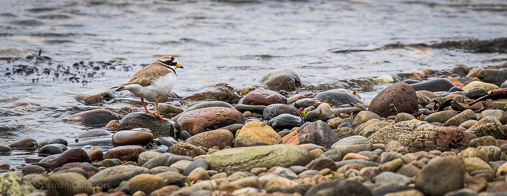 Ringed plover standing on the edge of the sea on a pebble beach.