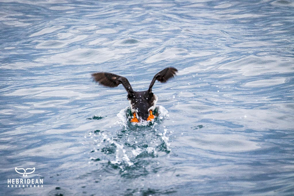 Puffin takes flight