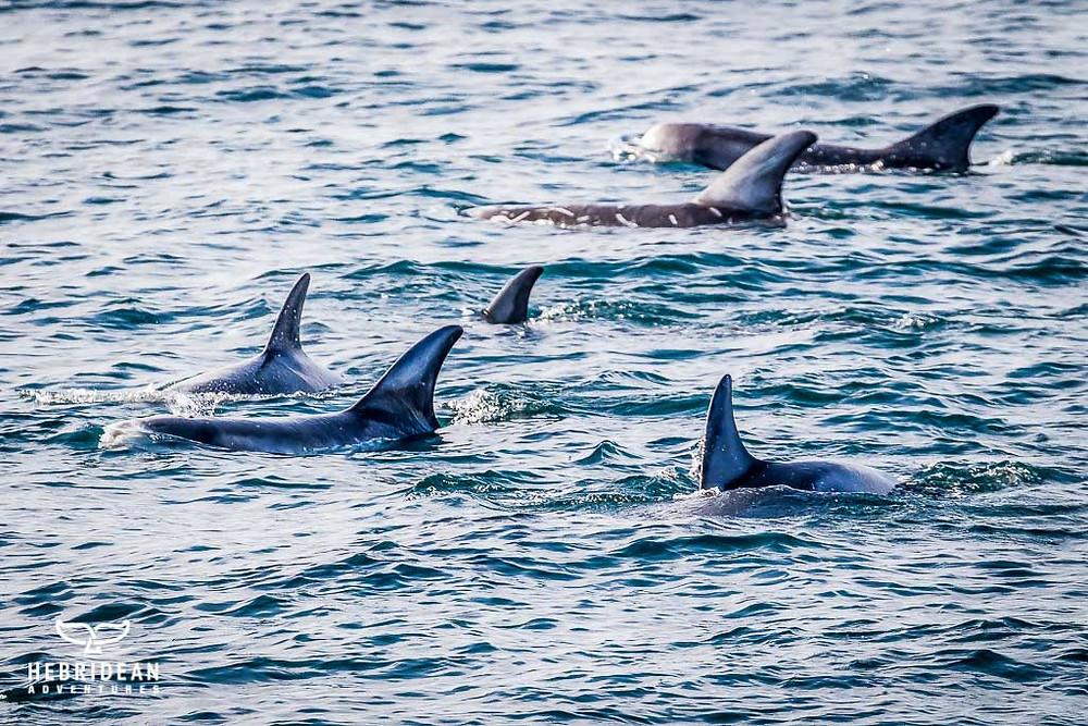 Pod of Risso's dolphins