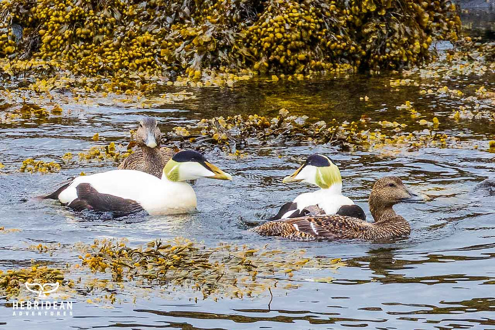 Two pairs of eider ducks with the brightly coloured males outshining their drab female counterparts.