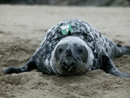 Where do Scottish seals go to at sea?