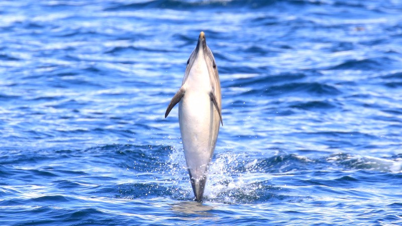 Common dolphin tail walking