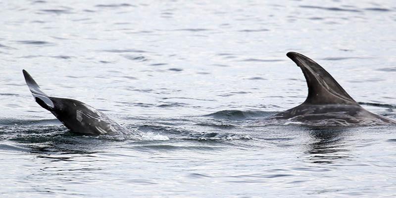 Risso's dolphin tail-lobbing