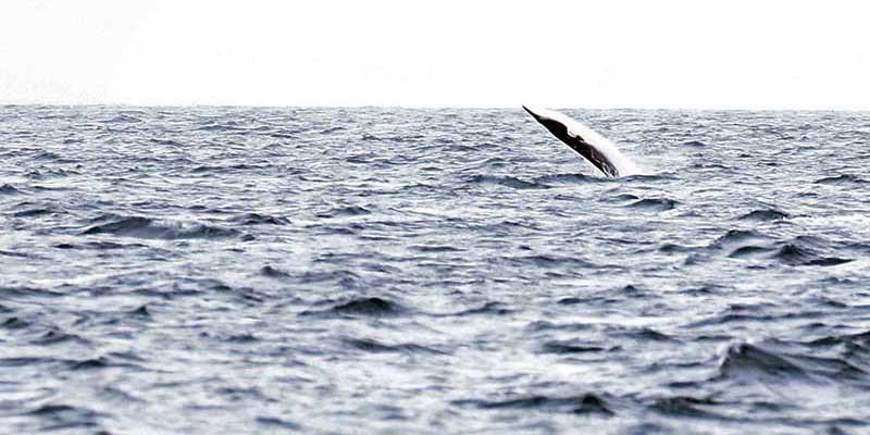 Breaching minke whale
