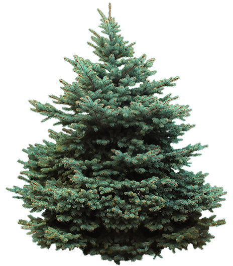 blue-spruce-tree.png
