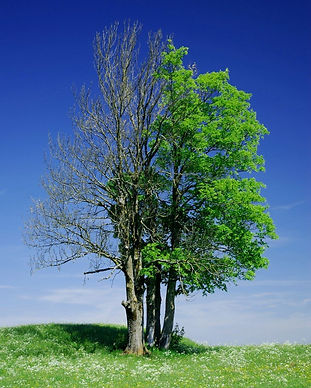 Dying_Tree.jpg