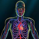 Vascular system.jpg