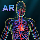 AR Vascular system.jpg