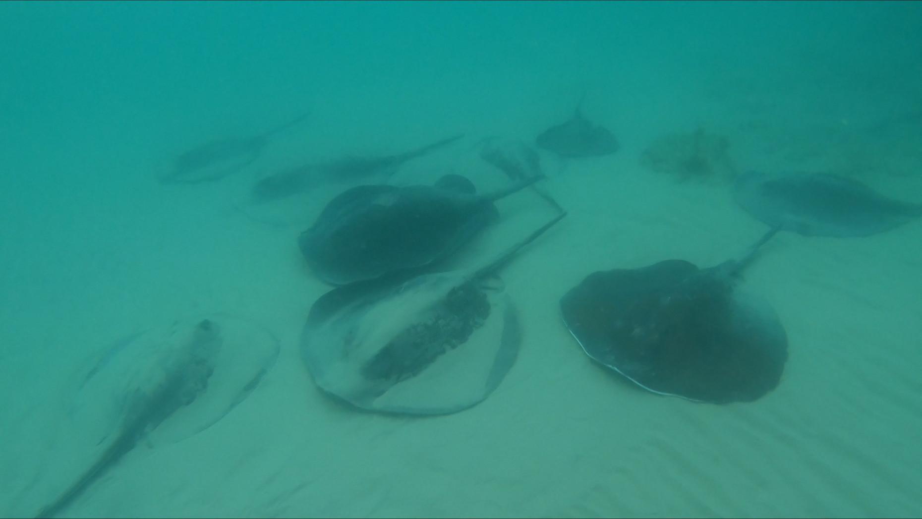 מחבטן אפור | Round fantail stingray