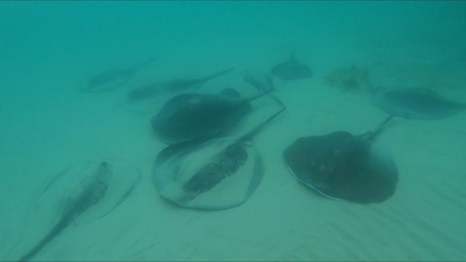 מחבטן אפור   Round fantail stingray