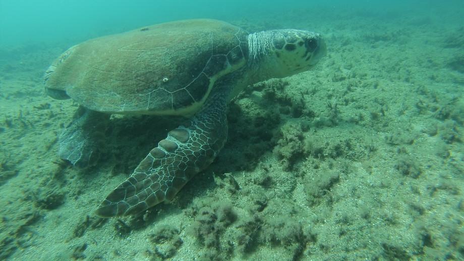 צב ים חום   Loggerhead sea turtle