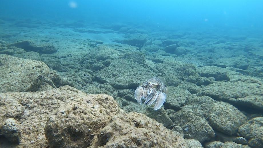 דיונון הרוקחים | CuttleFish