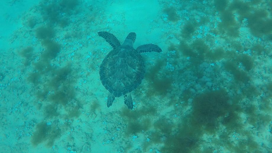 צב ים ירוק   Green sea turtle