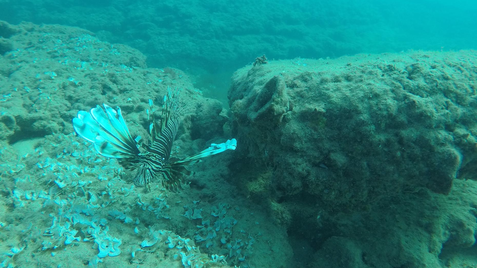 זהרון | Lionfish