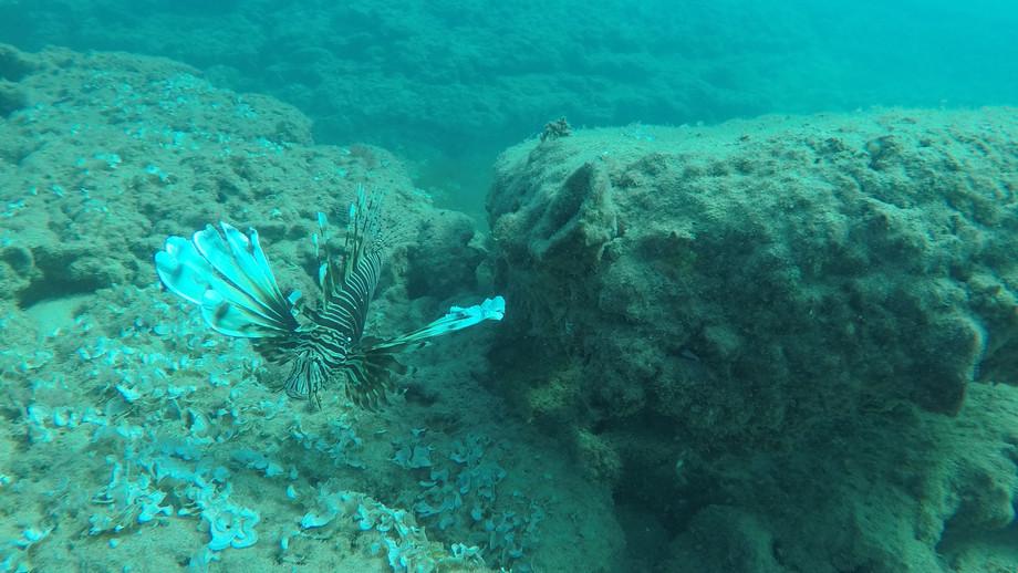 זהרון   Lionfish