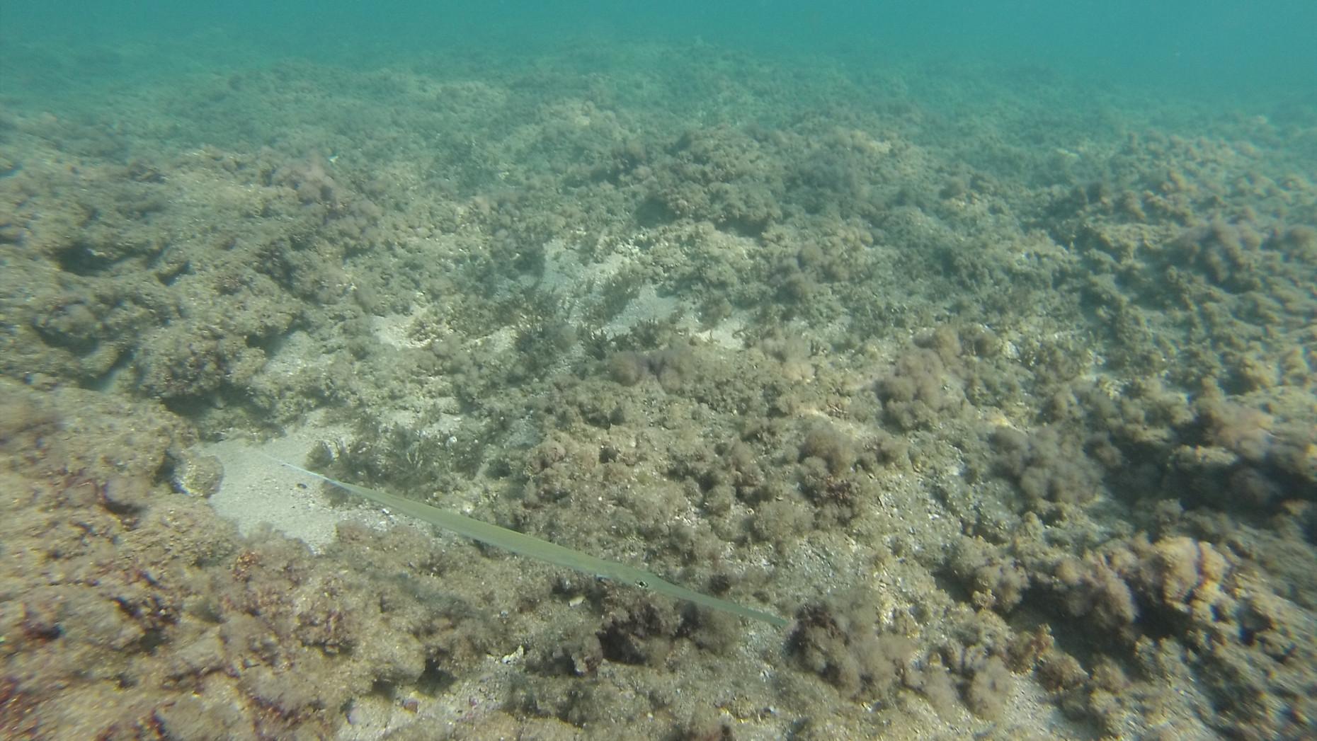 חלילון ים סוף | Fistularia