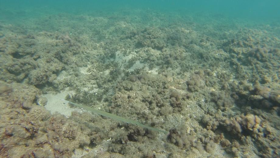 חלילון ים סוף   Fistularia
