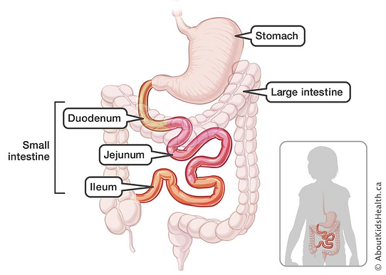 Basic Anatomy and Physiology of the Gastrointestinal System