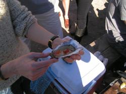 Medium oyster